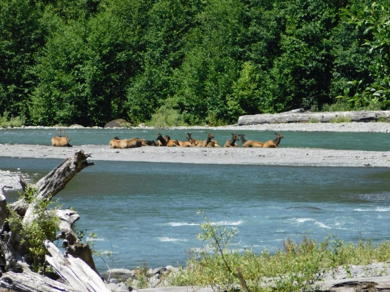 herd of elk resting on the sandspit on Hoh river at the campground